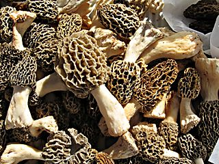 BlondMorels