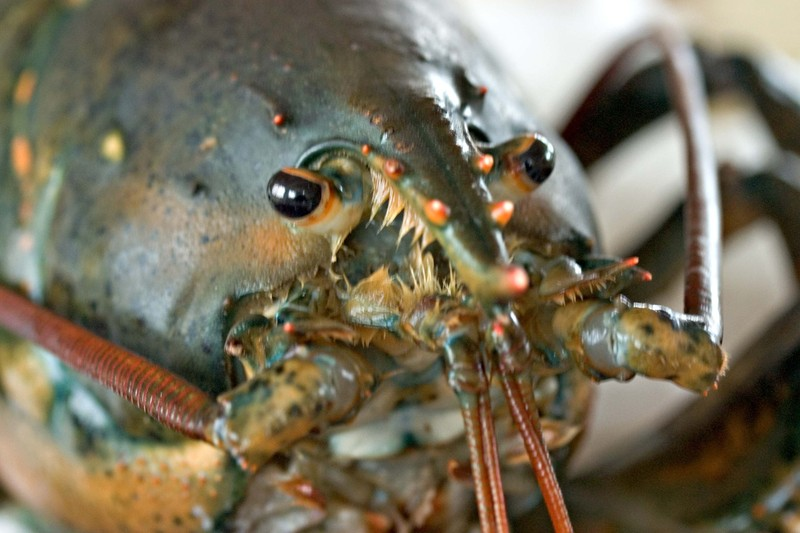 Lobstersevenpoundcloseup