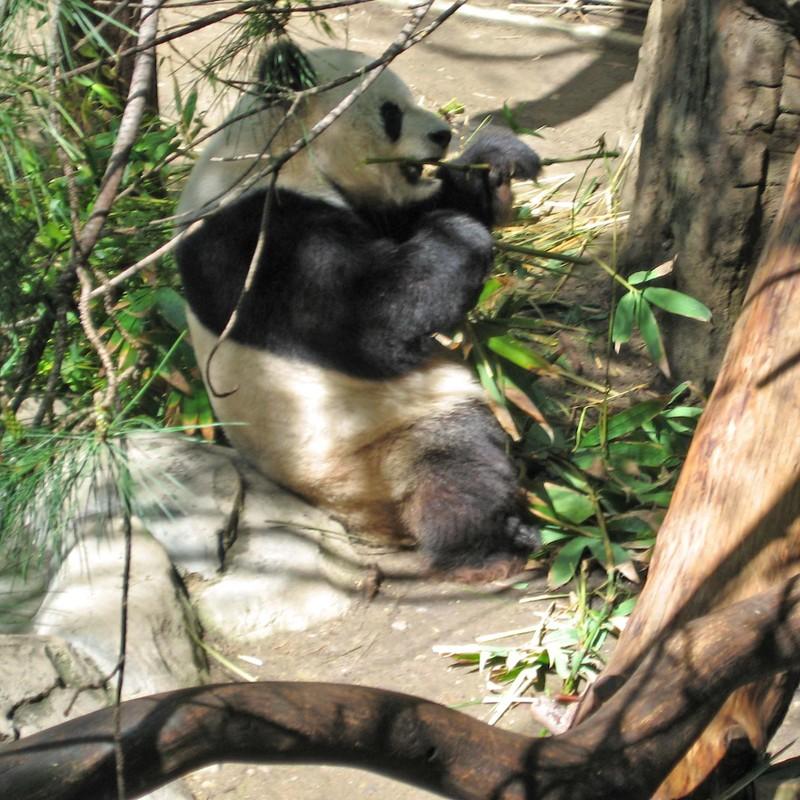 Pandaeatingbreakfast